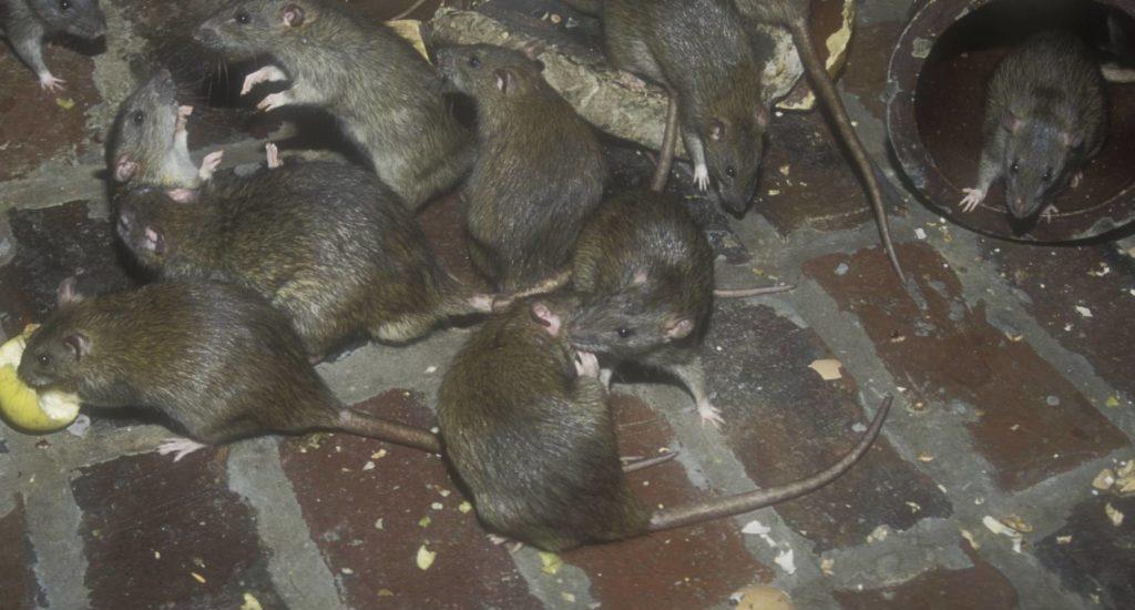 уничтожение крыс в Магадане