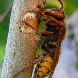 Уничтожение шершней в Магадане
